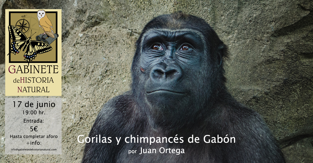 chimp_gabon